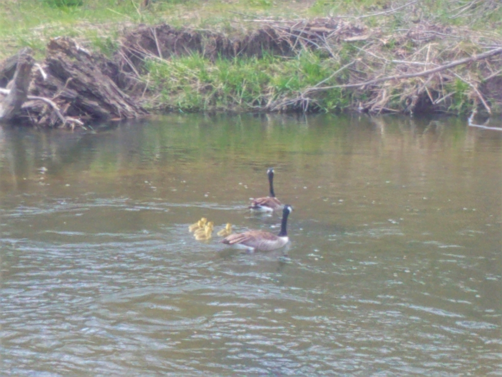 A photo of a couple of Candiean geese and their chicks swimming in the Clinton River.