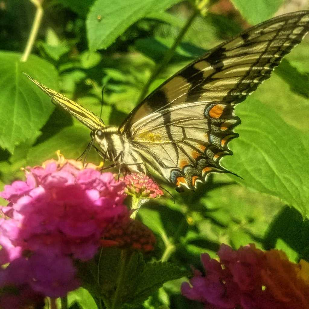 A female Eastern Tiger Swallowtail Butterfly resting atop of a orange and pink flower.