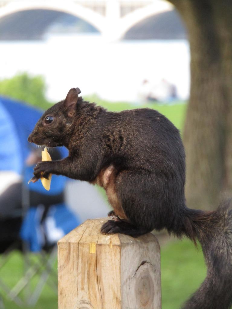 A squirrel enjoying a random trash peanut.