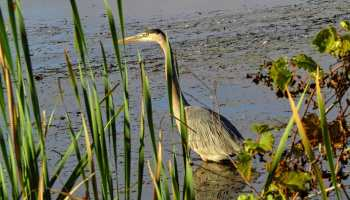 A Great Blue Heron wading in a pond.