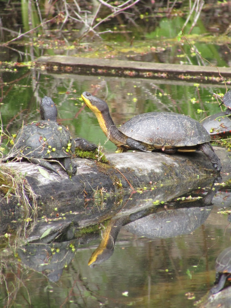 Two Painted Turtles Basking on logs in a pond.