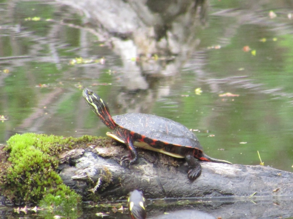 A Painted Turtles basking on a log in a pond.