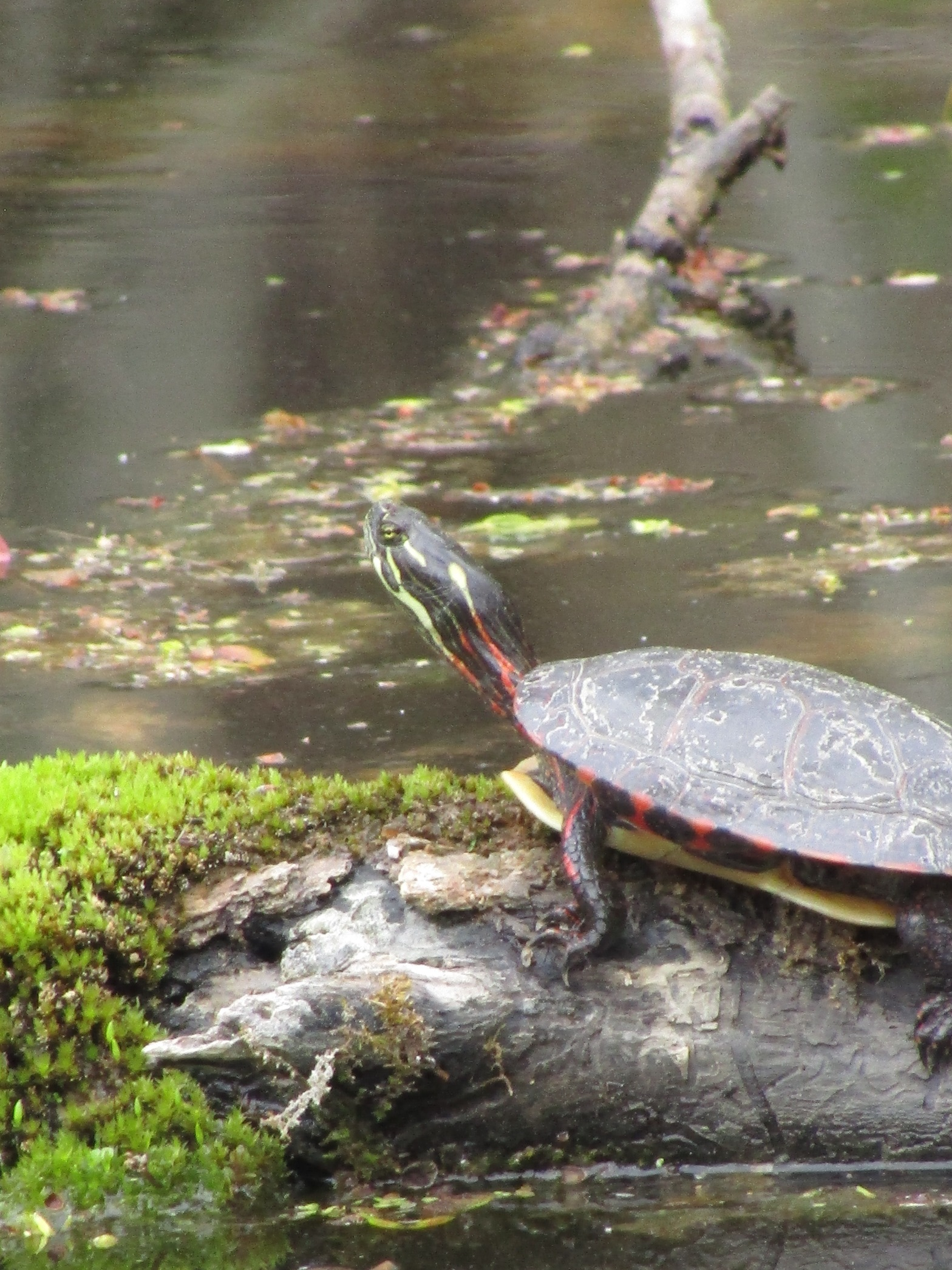 A painted turtle basking on a log in a pond.