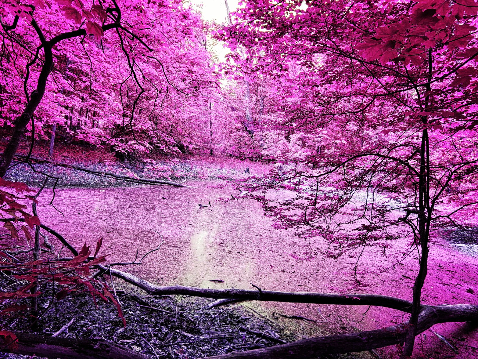 a swamp filled with alge that is surrounded by trees. The trees have been edited to be a hot rosy pink color.