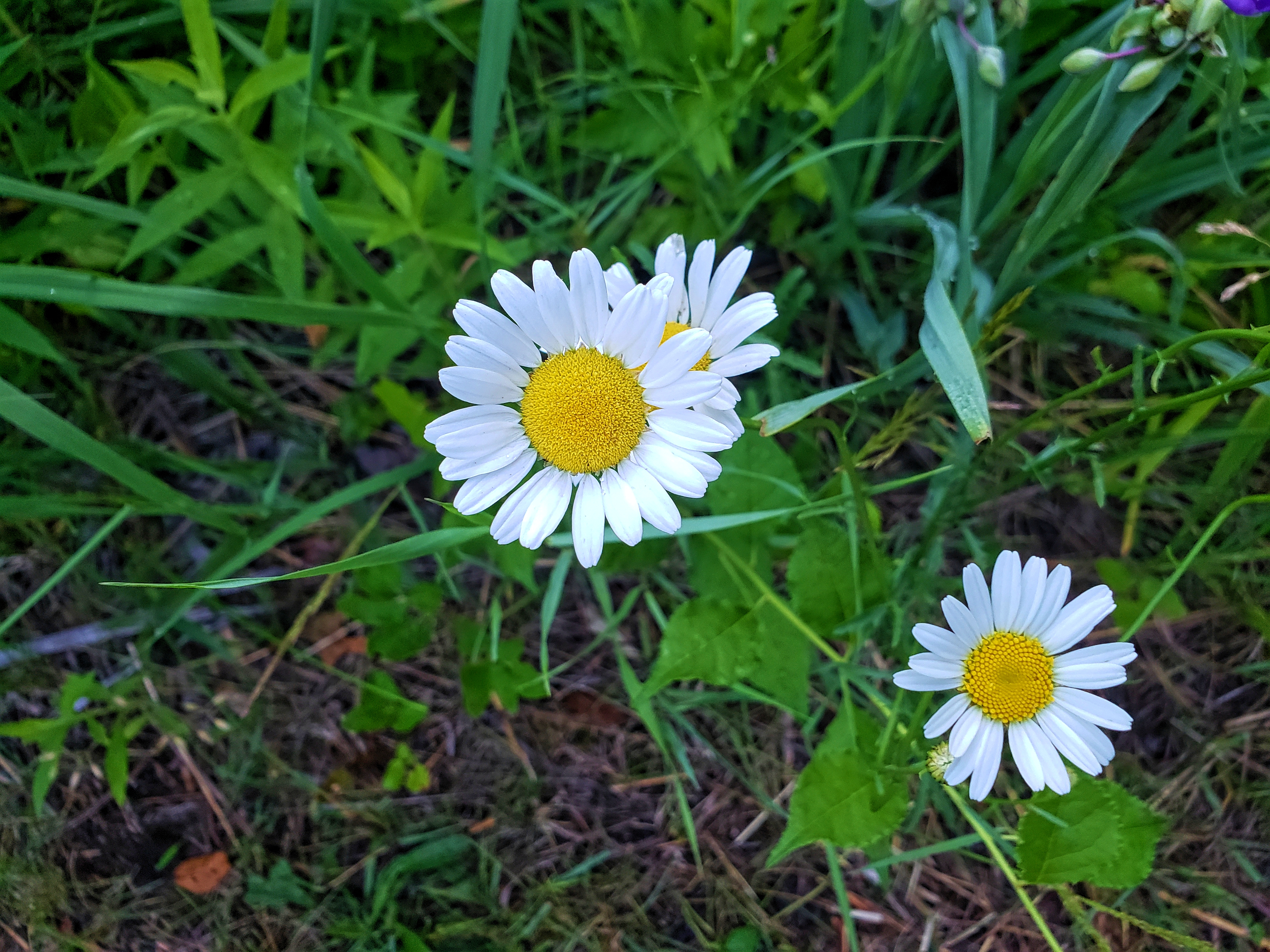 Daisy's are just some of the flowers you will see while exploring Draper Twin Lake Park
