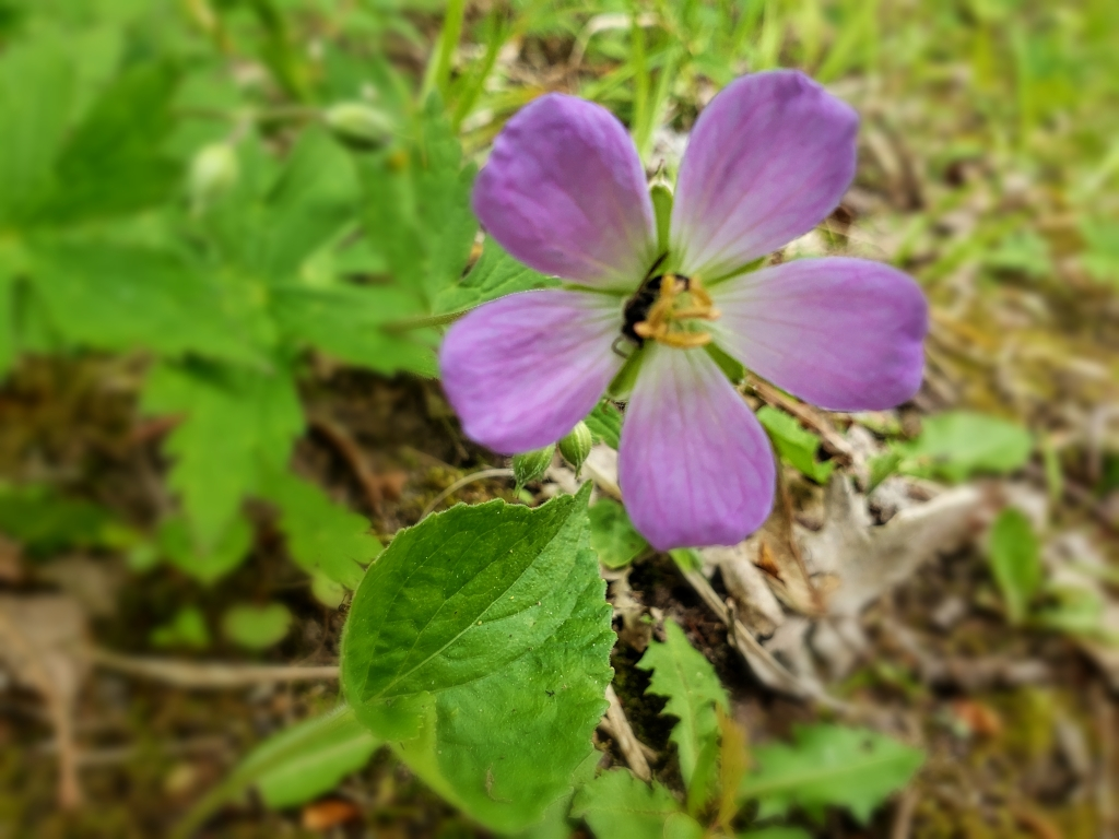 a fuchsia wild flower
