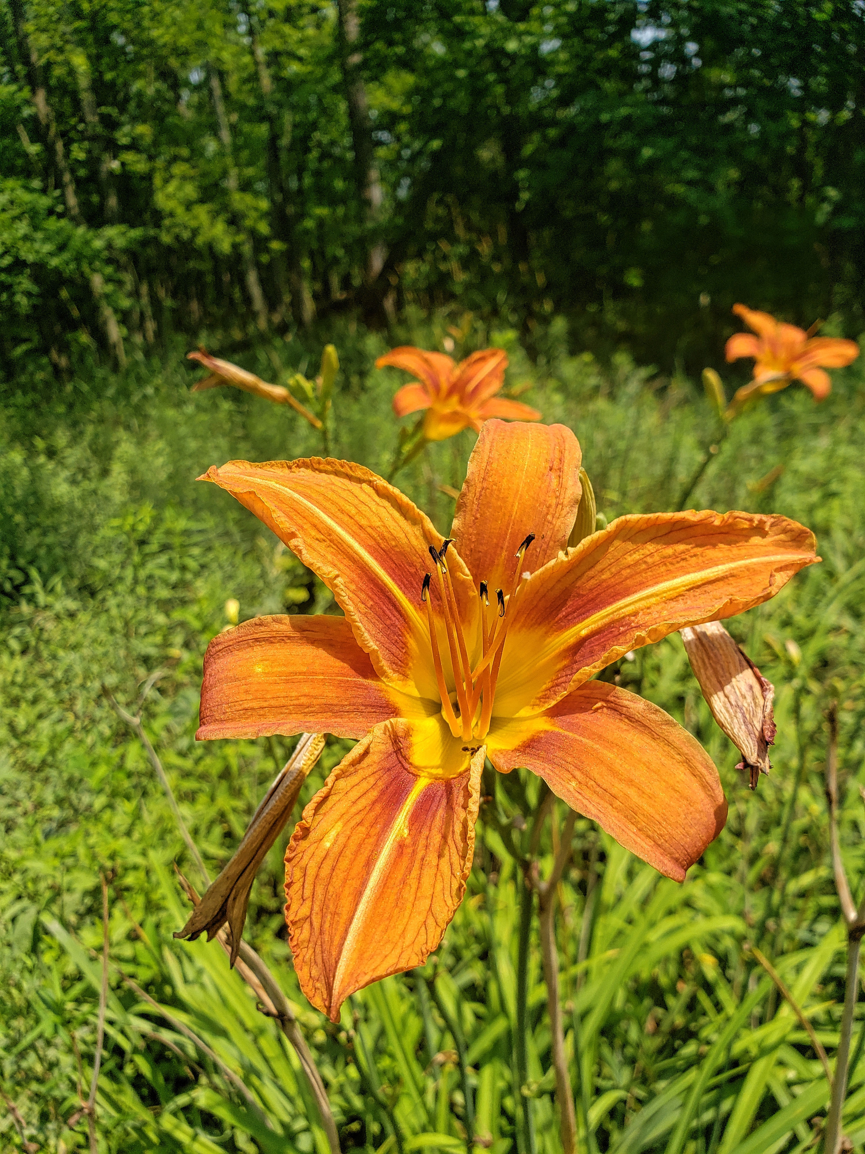 Day Lilly's are just some of the flowers you can find at Wolcott Mills.