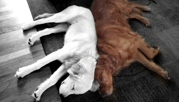 a pair of golden retrievers napping back to back
