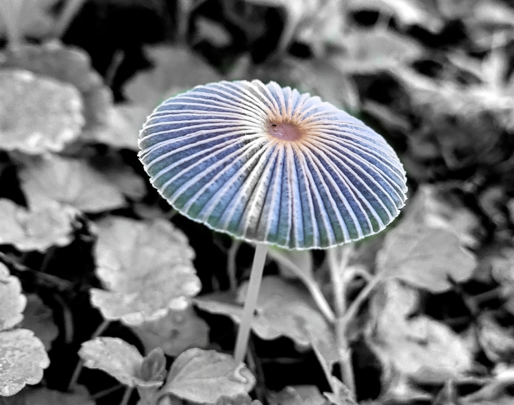 the tiki umbrella or inkcap mushroom in some leafy plants on the ground.