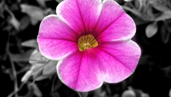 the featured image for this monochrome Monday is a fuchsia impatient flower.