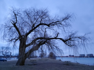 A willow tree on Belle Isle.
