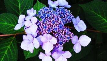 violet hydrangeas in an orton effect filter