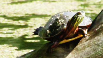 a painted turtle with the orton effect filter over the photo